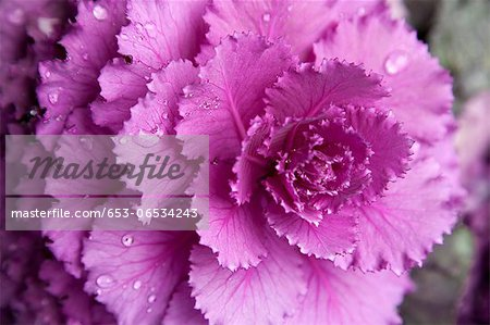 A pink flower Stock Photo - Premium Royalty-Free, Image code: 653-06534243