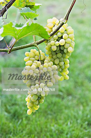 Bunches of ripe white grapes hanging from a vine Stock Photo - Premium Royalty-Free, Image code: 653-06534768