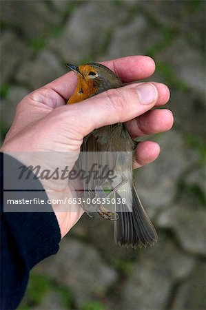 A woman holding a dead European Robin, close-up of hand Stock Photo - Premium Royalty-Free, Image code: 653-06535038