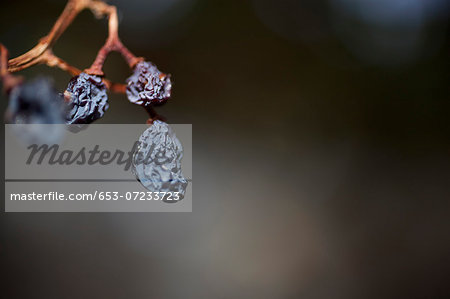 Still life of raisins on the vine Stock Photo - Premium Royalty-Free, Image code: 653-07233723