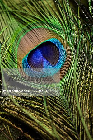 Close up of peacock feather Stock Photo - Premium Royalty-Free, Image code: 655-03082845
