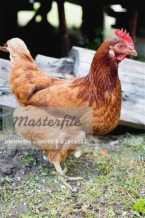 Live hen in the open air Stock Photo - Premium Royalty-Free, Image code: 659-01866133