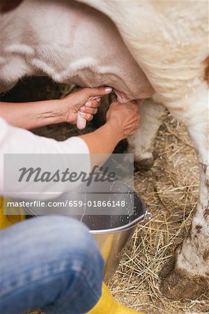 Cow being milked Stock Photo - Premium Royalty-Free, Image code: 659-01866148