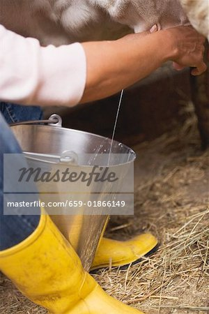 Cow being milked Stock Photo - Premium Royalty-Free, Image code: 659-01866149