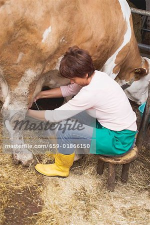 Cow being milked Stock Photo - Premium Royalty-Free, Image code: 659-01866150