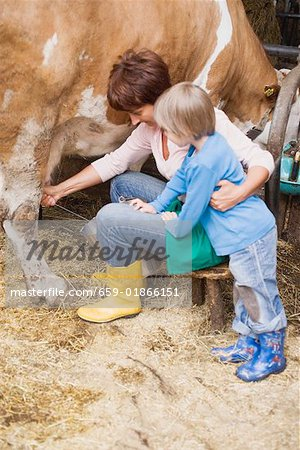 Cow being milked Stock Photo - Premium Royalty-Free, Image code: 659-01866151