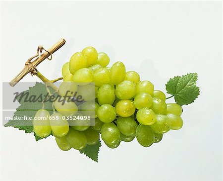 Green grapes with vine leaves and morning dew Stock Photo - Premium Royalty-Free, Image code: 659-03524098