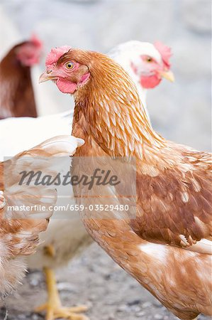 Live hens in the open air Stock Photo - Premium Royalty-Free, Image code: 659-03529480