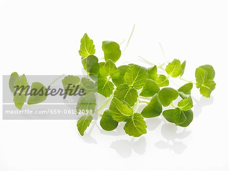 Shiso sprouts Stock Photo - Premium Royalty-Free, Image code: 659-06152098
