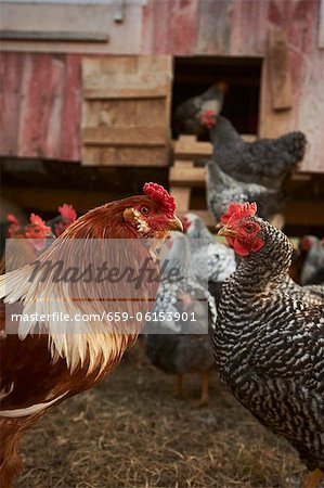 Rooster and Chickens; Hen House Stock Photo - Premium Royalty-Free, Image code: 659-06153901