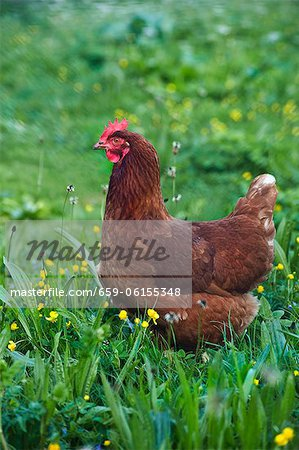 Hen in grass Stock Photo - Premium Royalty-Free, Image code: 659-06155348