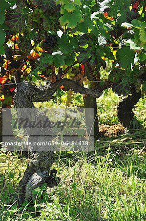 A vine of pinot noir grapes Stock Photo - Premium Royalty-Free, Image code: 659-06184638