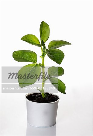 A broad bean plant growing in a flower pot Stock Photo - Premium Royalty-Free, Image code: 659-06185849