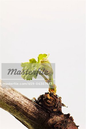 A vine with a young shoot Stock Photo - Premium Royalty-Free, Image code: 659-06307447