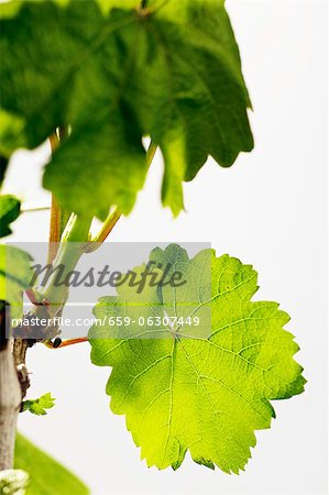 A spring vine with green leaves Stock Photo - Premium Royalty-Free, Image code: 659-06307449