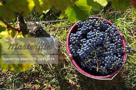 Grape harvesting in Burgenland: A bucket of Blaufränkisch grapes Stock Photo - Premium Royalty-Free, Image code: 659-06493734