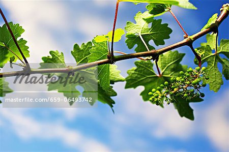 A vine in spring Stock Photo - Premium Royalty-Free, Image code: 659-06493742
