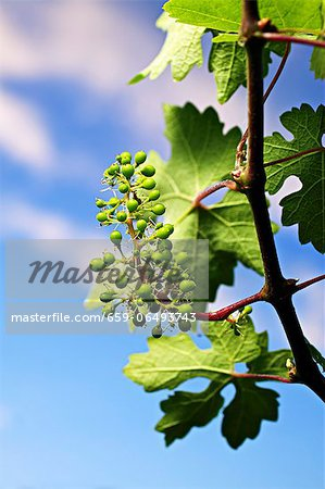 A vine in spring Stock Photo - Premium Royalty-Free, Image code: 659-06493743