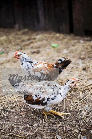 Two live chickens outside the barn Stock Photo - Premium Royalty-Free, Image code: 659-06671603