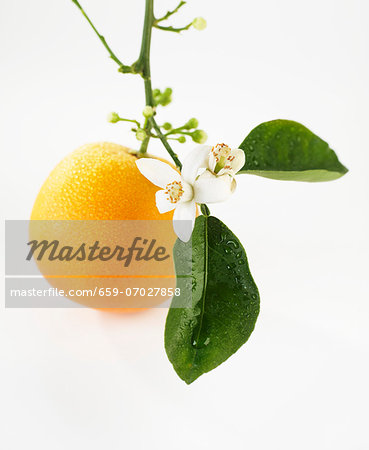 An orange with flowers hanging from the stem Stock Photo - Premium Royalty-Free, Image code: 659-07027858