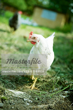 A hen in the field Stock Photo - Premium Royalty-Free, Image code: 659-07069516