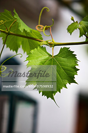 Vine foliage outside a wine bar Stock Photo - Premium Royalty-Free, Image code: 659-07598932