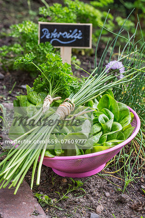 Lettuce, chives and parsley in a bowl in a bed in the garden Stock Photo - Premium Royalty-Free, Image code: 659-07609777