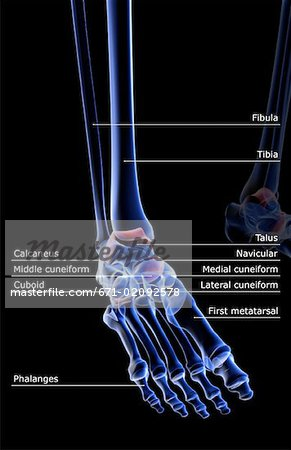 The bones of the foot Stock Photo - Premium Royalty-Free, Image code: 671-02092578