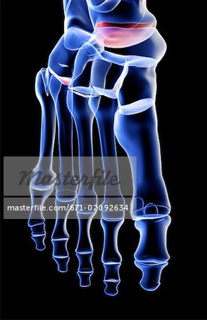 The bones of the foot Stock Photo - Premium Royalty-Free, Image code: 671-02092634