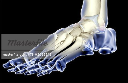 The bones of the foot Stock Photo - Premium Royalty-Free, Image code: 671-02093542