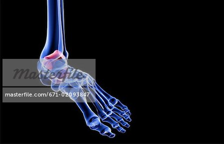 The bones of the foot Stock Photo - Premium Royalty-Free, Image code: 671-02093847