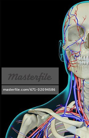 The blood supply of the face, neck and shoulder