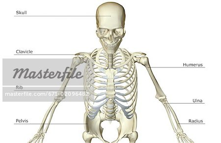 the bones of the upper body - stock photo - masterfile - premium, Skeleton
