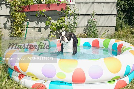 Dog sitting in a backyard baby pool. Stock Photo - Premium Royalty-Free, Image code: 673-02138072