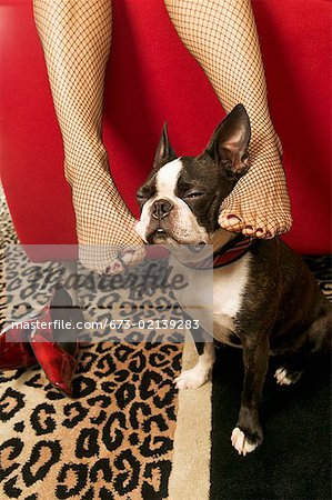 Woman rubbing Boston Terrier with feet Stock Photo - Premium Royalty-Free, Image code: 673-02139283