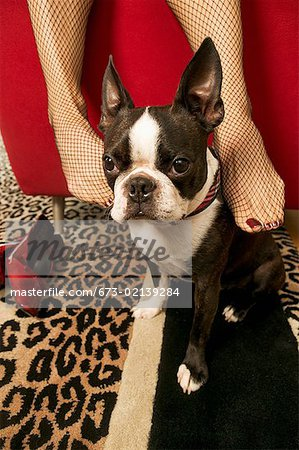Woman rubbing Boston Terrier with feet Stock Photo - Premium Royalty-Free, Image code: 673-02139284