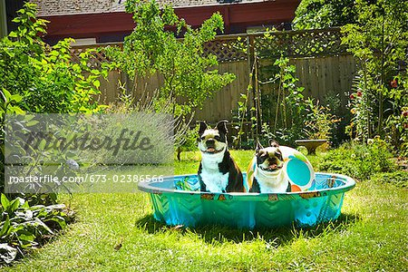 Two Boston Terriers panting in a wading pool Stock Photo - Premium Royalty-Free, Image code: 673-02386566