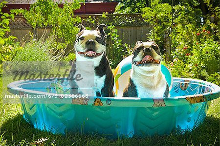 Two Boston Terriers panting in a wading pool Stock Photo - Premium Royalty-Free, Image code: 673-02386568