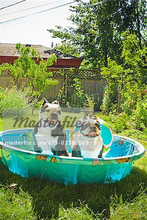 Two Boston Terriers panting in a wading pool Stock Photo - Premium Royalty-Free, Image code: 673-02386569