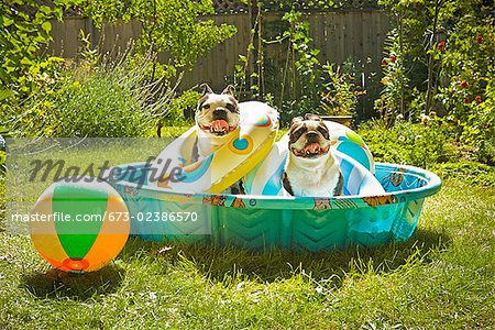 Two Boston Terriers with life rings sitting in a wading pool Stock Photo - Premium Royalty-Free, Image code: 673-02386570