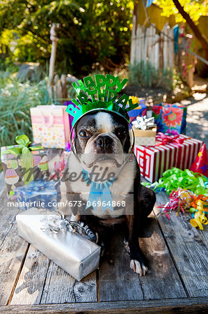 Boston terrier dog with birthday presents Stock Photo - Premium Royalty-Free, Image code: 673-06964868