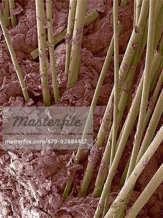 Human hair. Coloured scanning electron micrograph (SEM) of hair shafts growing from the surface of human skin. Stock Photo - Premium Royalty-Free, Image code: 679-02684417