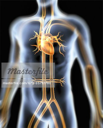 Human cardiovascular system, artwork Stock Photo - Premium Royalty-Free, Image code: 679-05797780