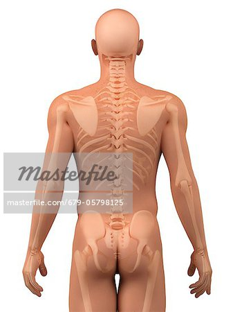 Upper body bones, artwork Stock Photo - Premium Royalty-Free, Image code: 679-05798125