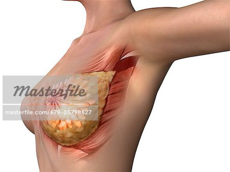 Breast anatomy, artwork Stock Photo - Premium Royalty-Free, Image code: 679-05798627