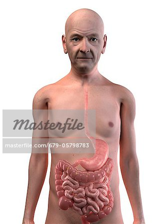 Healthy digestive system, artwork Stock Photo - Premium Royalty-Free, Image code: 679-05798783