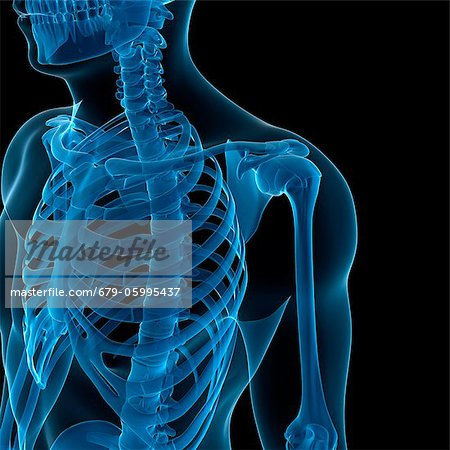 Upper body bones, computer artwork. Stock Photo - Premium Royalty-Free, Image code: 679-05995437