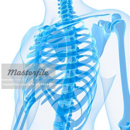 Upper body bones, computer artwork. Stock Photo - Premium Royalty-Free, Image code: 679-05995447