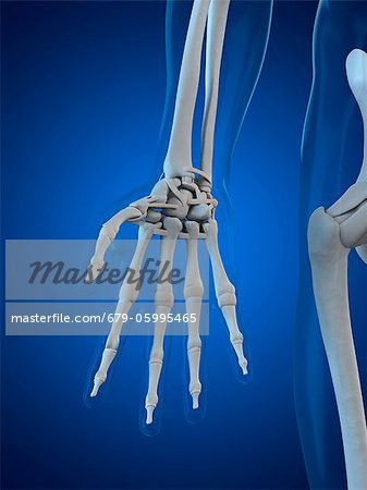 Hand bones, computer artwork. Stock Photo - Premium Royalty-Free, Image code: 679-05995465