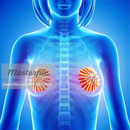 Breast anatomy, computer artwork. Stock Photo - Premium Royalty-Free, Image code: 679-06711503